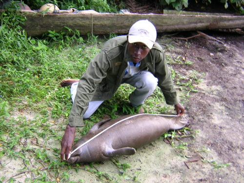 A national park ranger measures a calf manatee rescued from a hunter's net in Gabon. The manatee was released afterwards.