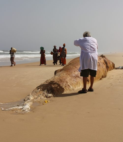 Stranding network member Wim Mullie photographs a dead whale in northern Senegal.