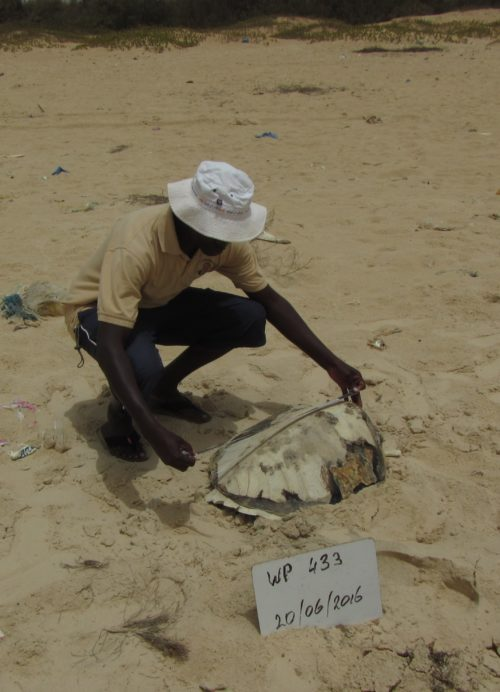 Stranding network member Kader Diagne collects measurements on a dead sea turtle in northern Senegal.
