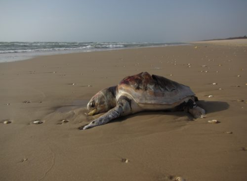 A dead Loggerhead sea turtle on Senegal's remote northern coast.