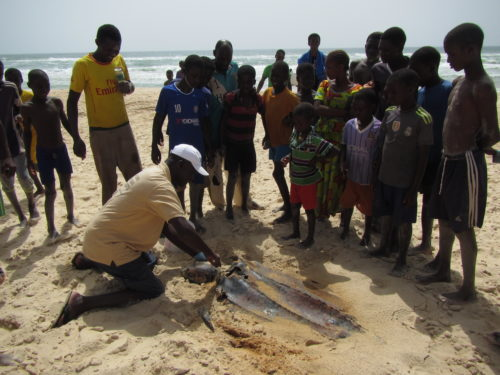 Local children watch as Kader Daigne samples a dead Leatherback turtle. We use these opportunities to tell local people about our work and to teach them why it's important to conserve marine animals.