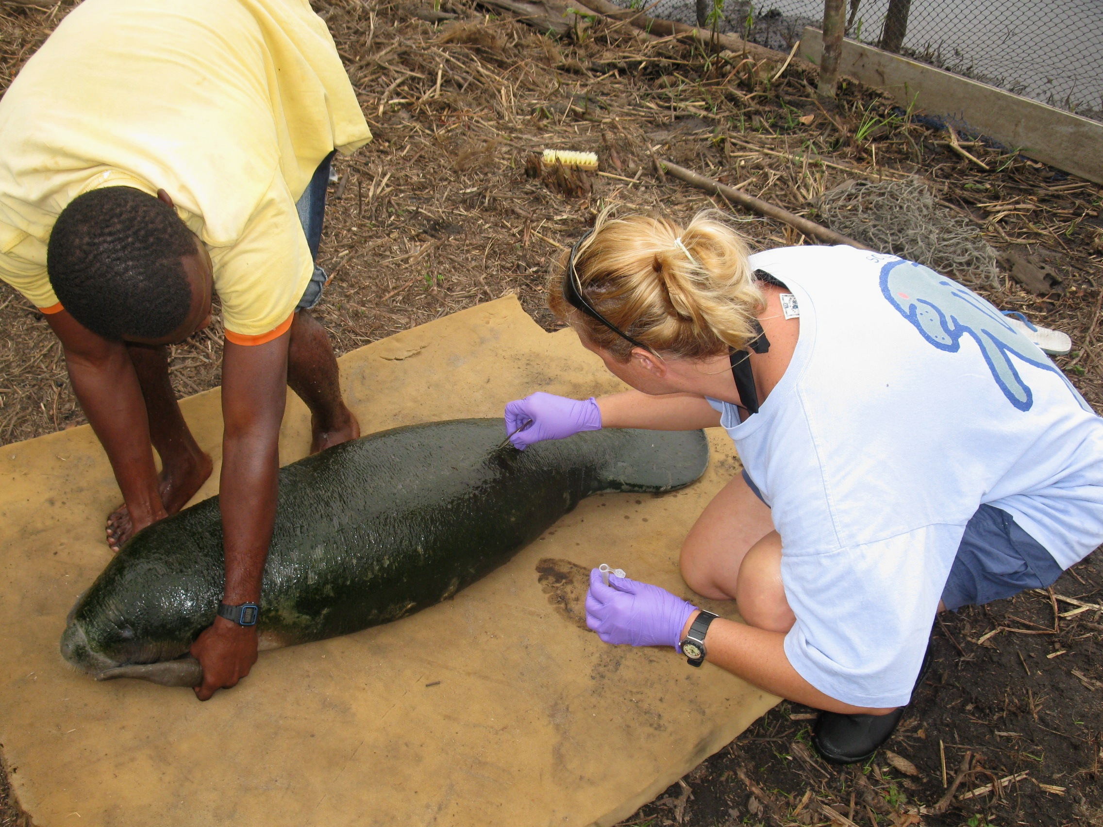 Dr. Keith Diagne (right) collects hairs from a captive manatee calf. The hairs are analyzed to determine diet.