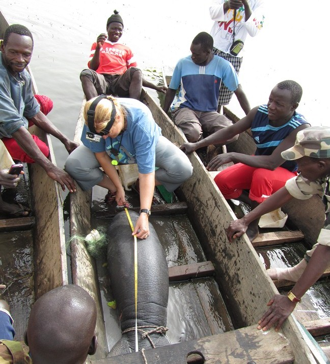 Dr. Keith Diagne measures a manatee calf rescued from a fisherman's net in Lake Gueirs, Senegal. Rescues are also training opportunities for local partners.