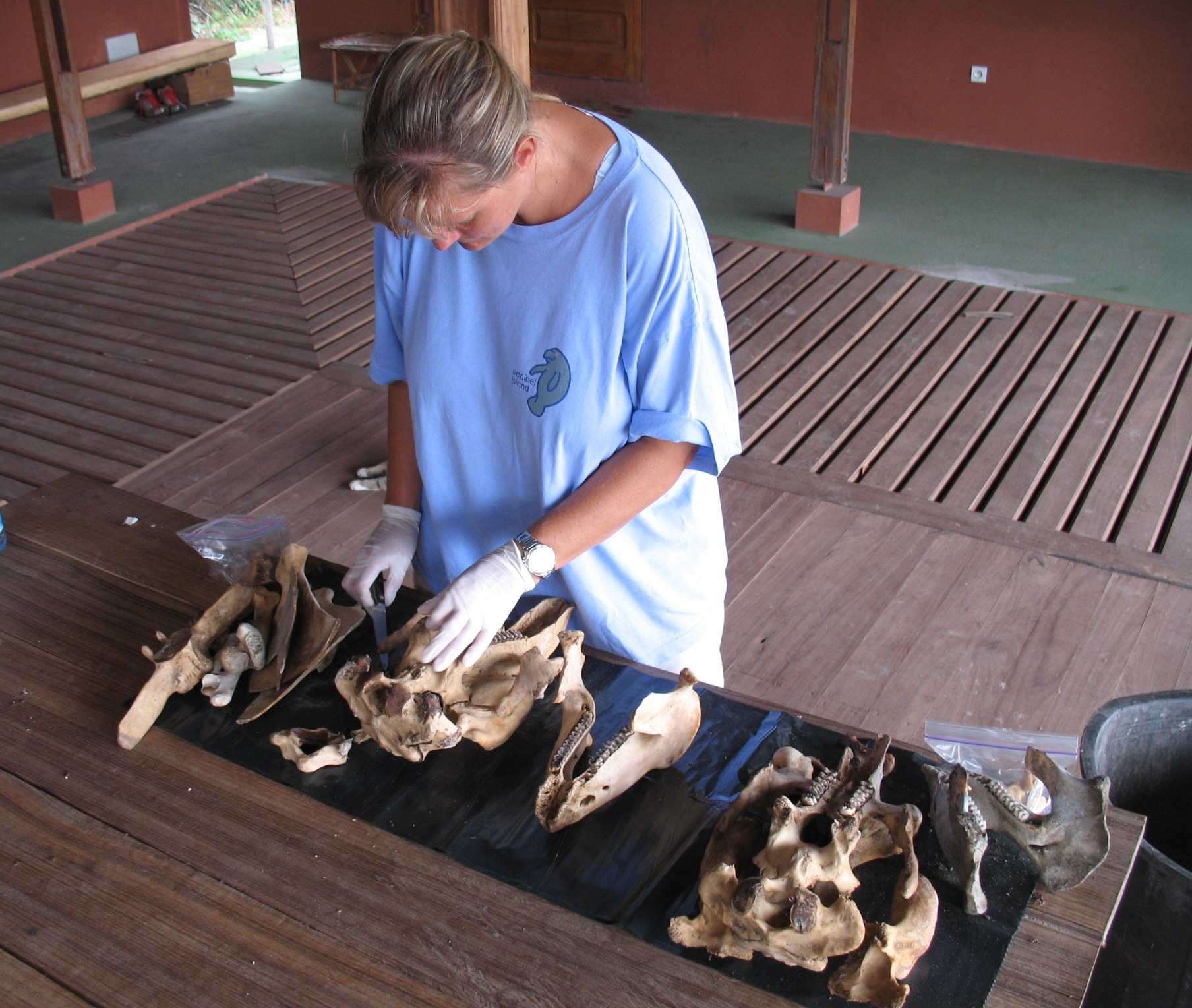 Dr. Keith Diagne examines manatee skulls in Gabon.