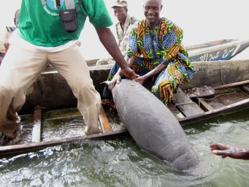 The leader of Tocc Tocc Community Natural Reserve's conservation committee releases a rescued manatee in Lake Guiers, Senegal.